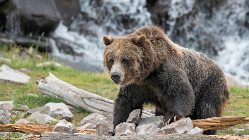 Grizzly bear on log