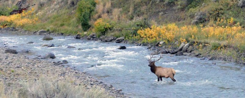 Bull elk in river