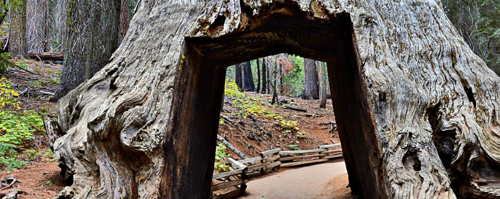 Giant Sequoia tree with hole
