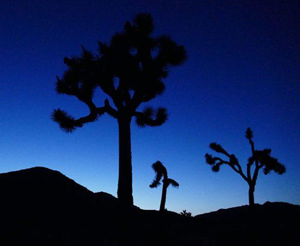 Joshua Tree trees at night
