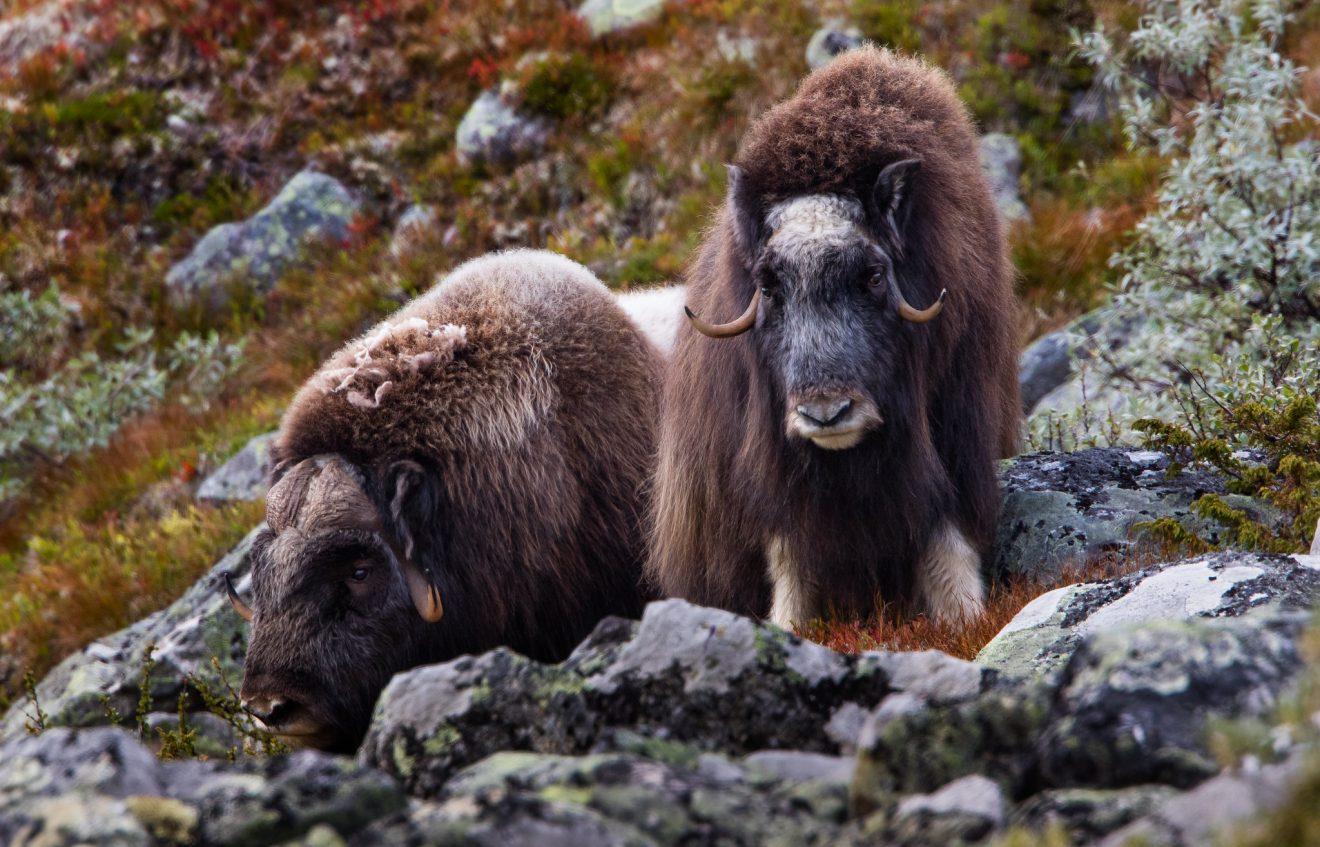 musk ox in Norway