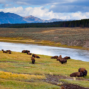 Bison in Meadow